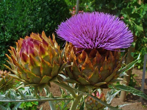 hoa Atiso Đà Lạt