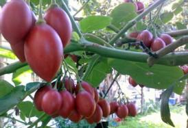cà chua tamarillo