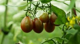 Cà chua chocolate
