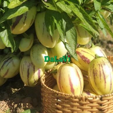 dưa pepino vàng