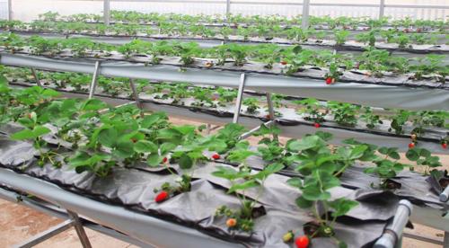 fresh-garden-canh-dong-hoa-moi-ngoai-thanh-da-lat (3)